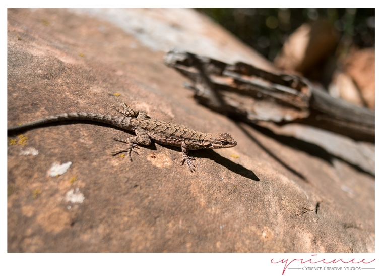 Lizard, North Bass Trail, North Rim, Grand Canyon
